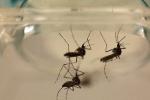 Hơn 30.000 con muỗi diệt sốt xuất huyết được thả ra đất liền