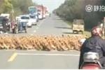 Ôtô, xe máy xếp hàng dài chờ... 20.000 con vịt sang đường