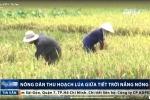 Nông dân miền Bắc vật vã đội nắng gặt lúa