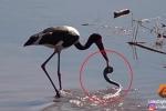 Clip: Hạc mổ trúng rắn khi lội sông kiếm ăn và cái kết bất ngờ