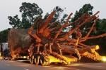3 cây đa khổng lồ vi vu trên quốc lộ: Bộ GTVT yêu cầu làm rõ hành vi bao che
