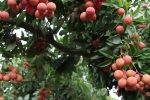 Video: Kiếm bộn tiền, đổi đời nhờ tuyệt chiêu ép vải thiều ra quả ở thân