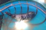 Dân Quảng Nam đổ xô đi xem hải cẩu quý hiếm bị mắc lưới