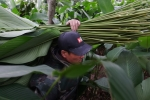 Video: Làng lá dong lớn nhất Hà Nội hối hả ngày cận Tết