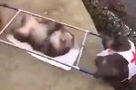 Cười lăn lộn clip khỉ làm nhân viên cứu thương