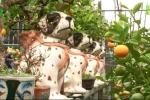 Quất bonsai cưỡi chó đốm cháy hàng trước Tết