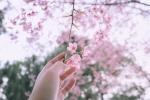 Ngắm hoa anh đào rực rỡ giữa lòng Thủ đô Hà Nội