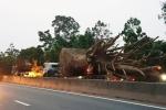 Chở cây khổng lồ như quái thú bị phạt hơn 80 triệu đồng: Giám đốc doanh nghiệp nói gì?