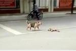 Clip: Chó con bị xe cán, chó mẹ hoảng loạn cầu cứu người đi đường