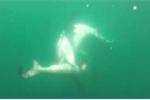 Cá mập đầu búa vùng vẫy tuyệt vọng dưới hàm sát thủ cá mập hổ