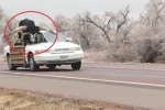 Clip: Ô tô 'mui nửa trần' chở bò khủng bon bon trên đường gây choáng