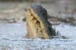 Hé lộ cơ chế đặc biệt giúp cá sấu sống sót trong đầm lầy đóng băng