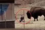 Clip: Bị trêu chọc, trâu nổi khùng chồm lên tấn công người