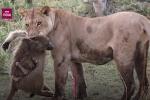 Kỳ lạ sư tử tận tình chăm sóc khỉ con sau khi giết khỉ mẹ