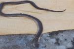 Người đàn ông thiệt mạng khi làm thịt rắn hổ mang