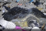 Rùa mẹ và đàn con nỗ lực sinh tồn giữa rác thải nhựa