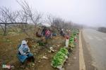Đào rừng Sơn La giá chát bắt đầu về chợ Tết miền xuôi