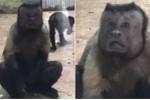 Clip: Khỉ mặt người kỳ dị xuất hiện ở Trung Quốc