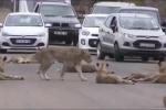 Clip: Sư tử kéo bầy ra nằm ườn giữa đường, nghênh ngang thách thức ô tô