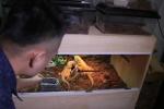 Cận cảnh rồng Australia được giới trẻ Hà Nội chi tiền triệu săn đón