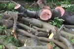 Hà Nội sẽ đấu giá gỗ từ cây cổ thụ bị di dời trên phố Kim Mã