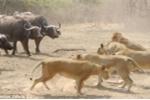 Clip: 500 trâu rừng hiệp lực đánh sư tử, lăm le chiếm ngôi vương