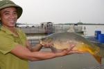 Thú vị chuyện nuôi 'cá chép ma' không vảy trên sông, thịt giòn như tràng lợn