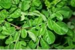 Nghiên cứu phát triển cây dược liệu Chùm Ngây