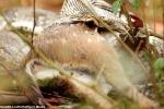 Video: Cận cảnh trăn đá nôn vội con mồi to, trước khi bị bầy chó hoang phát hiện