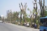 Video: Xót xa cảnh hàng trăm cây xà cừ trụi cành lá trên đường Phạm Văn Đồng