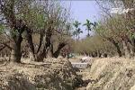 Chiêm ngưỡng vườn đào cổ thụ tiền tỷ ở Hải Phòng