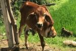 Thực hư chuyện cán bộ xã mang bò chính sách bán vào lò mổ