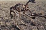 Hạn hán tồi tệ kéo dài ở Australia, kangaroo chết trơ xương trên đồng cỏ