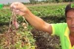 Kẻ gian phun thuốc phá ruộng khoai, nông dân Vĩnh Long mất trắng hàng trăm triệu đồng