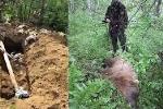 Gấu nâu khổng lồ xới tung nghĩa trang, đào bới các thi thể