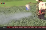Gia Lai: Tồn dư thuốc trừ sâu quá cao, nông dân không dám ăn dưa hấu do chính mình trồng