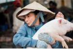 Thích thú với nghề 'bồng heo' độc nhất vô nhị ở Quảng Nam