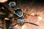 Xem ong vò vẽ dùng chiêu hiểm hạ gục nhện khủng