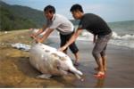 Thương tâm cảnh cá heo trắng quý hiếm chết thảm trên bờ biển