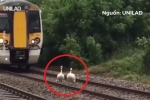Video: Tàu hoả kiên nhẫn đi chậm nhường đường ray cho thiên nga