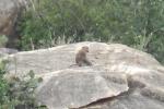 Khỉ xuống núi phá vườn nho, tấn công người ở Ninh Thuận