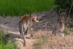 Nhiều người bị bầy khỉ xổng chuồng ở Sóc Trăng tấn công