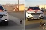 Clip: Chó chạy đến kiệt sức theo xe rước dâu, tiễn cô chủ về nhà chồng