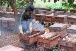 Video: Xem dân Hưng Yên hun khói đuổi ong, lấy mật, thu hàng trăm triệu đồng