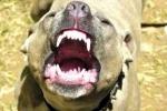 Chó Pitbull cắn chết anh trai của chủ tại Hà Nội?