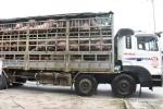 Dịch tả lợn châu Phi lan tới Nghệ An