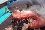 Ăn thịt con mồi kích cỡ 'quá khổ', cá mập trắng chết thảm