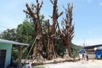 Hé lộ nguyên nhân chưa cấp phép vận chuyển 3 cây đa khổng lồ đang 'mắc kẹt' ở Huế