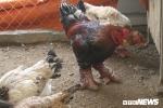 30 triệu đồng mua con gà Đông Tảo có cặp chân to bằng tay người lớn biếu Tết