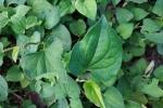 5 loại rau dại công dụng chữa bệnh như 'thần dược', có sẵn trong vườn nhà người Việt